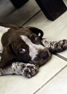 Health Problems in German Shorthaired Pointers