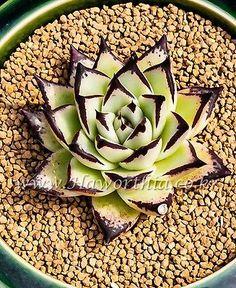 Succulent Echeveria Agavoides Red Fire New Rare  Cactus Agave caudex Haworthia | eBay