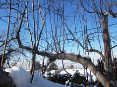 Fruit Tree Pruning at Its Best: Water Sprouts