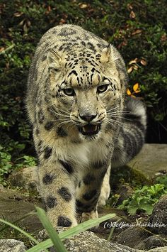 wild cat beauty