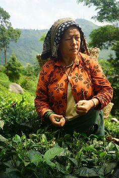 Tea Picker near Darjeeling, India