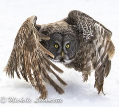 Great Grey Owl by michelle Lalancette on 500px