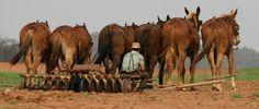 six-mule-team