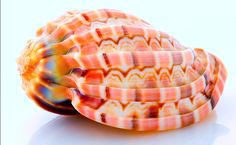 Major Harp Shell