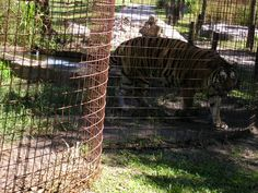Tigers forced to walk in round cages