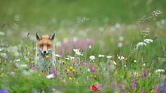 Red fox - Vulpes vulpes by Massimiliano Sticca on 500px