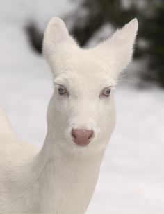 Albino white tail deer.....what a BEAUTY❤