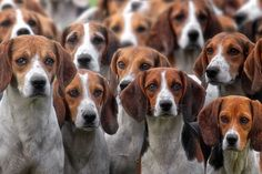 Hundemeute nach der Jagd