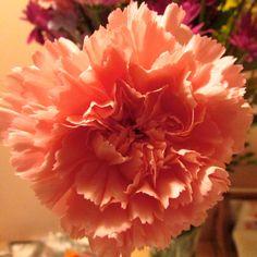** Carnation