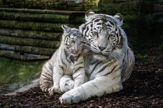 White tigers by Jean-Claude Sch. on 500px