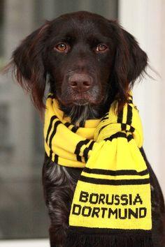 Kleiner Münsterländer, Bvb, Borussia Dortmund, Fussball