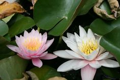 Water Lilies in the gardens at Terascon castle in France