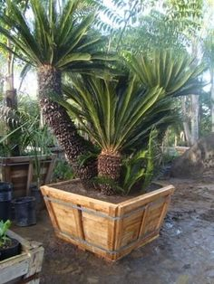 SAGO PALM, CYCAS REVOLUTA, up to 36 inch boxes or larger. Large branching specimens available at times. Also check out more rare and desirable cycads. Tropical Landscaping, Landscaping Plants, Tropical Garden, Tropical Plants, Sago Palm Tree, No Grass Backyard, Backyard Ideas, Patio Ideas, Palm Trees Garden