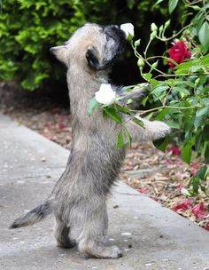 Cairn Terrier Puppiess 9