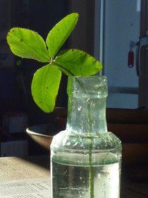 vierblättriges Kleeblatt - four leafed clover