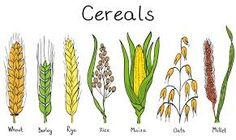 Illustration about Cereals hand-drawn illustration - wheat. Illustration of maize, corn, flour - 25047894 Rice Plant, Plant Illustration, Botanical Illustration, Floral Illustrations, Tattoo Food, Wheat Tattoo, Types Of Cereal, Plant Tattoo, Gardens