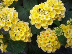 Tried & True Lantana Scentimental Lemon