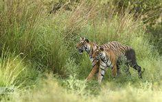 Krishna & Cubs by YogeshBhandarkar. Please Like http://fb.me/go4photos and Follow @go4fotos Thank You. :-)
