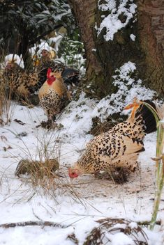 Pecking in the snow.