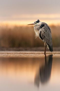 "♂ Wildlife photography ""Evening light"" by John Gooday Photography"