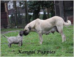 Turkish kangal dogs