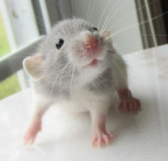 way too cute another Topi Rat baby