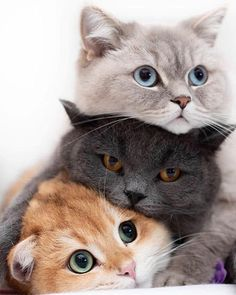 100 photos prove that cats are the cutest animal in the world – Grumpy Cat … – cutest animals – Animals Cute Baby Cats, Cute Cats And Kittens, Cute Baby Animals, I Love Cats, Crazy Cats, Kittens Cutest, Animals And Pets, Funny Animals, Pretty Cats