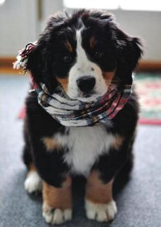 bernese mountain dog puppies - Google Search