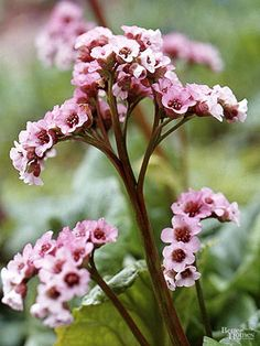 Bergenia, Bergenia cordifolia