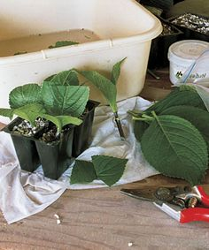 These hydrangea cuttings should form roots in less than six weeks.