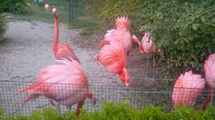 BIRDS #flamingo