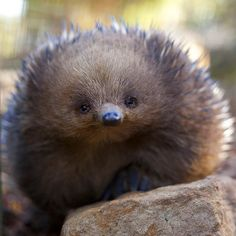 """We'd like to introduce Randall, a short-beaked echidna at Bonorong Wildlife Sanctuary near Hobart, who recently posed for @bernadette.camus. Together with…"""