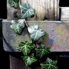 ivy on rusty gate