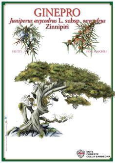 illustrazione commissionata dall'Ente foreste della Sardegna