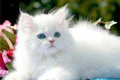 The Van cat from Turkey