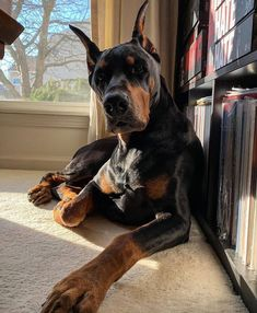Cute Baby Dogs, Cute Baby Animals, Animals And Pets, Doberman Pinscher Dog, Doberman Dogs, Dobermans, Scary Dogs, Cute Dogs And Puppies, Doggies