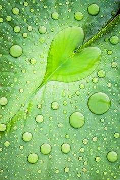 Rain collects in a green leaf - a puddle shaped like a heart and splatters of dew cover the surface. Gorgeous!