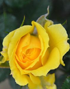 Yellow rose in my garden after the rain (Wil 3355)