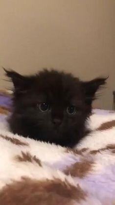 Funny Cute Cats, Cute Baby Cats, Cute Cat Gif, Cute Little Animals, Cute Cats And Kittens, Cute Funny Animals, Kittens Cutest, Black Kittens, Cute Creatures