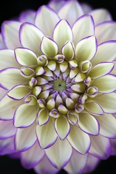 Dahlia being mesmeri Flowers Garden Love - via flowersgardenlove. Cream with purple dahlia flower photo. Exotic Flowers, Amazing Flowers, My Flower, Pretty Flowers, Purple Flowers, Flower Power, Purple Dahlia, Dahlia Flowers, Bloom