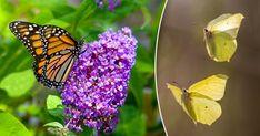 Vart tog alla fjärilar vägen? Plantera nektarrika blommor och njut av prakten så kommer fjärilarna på köpet. Blanda friskt och välj mellan perenner, lökväxter, buskar och träd.