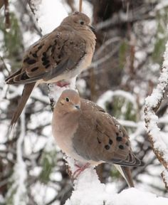 Mourning Doves - their haunting melody reminds me of my grandfather's farm when I was a kid.