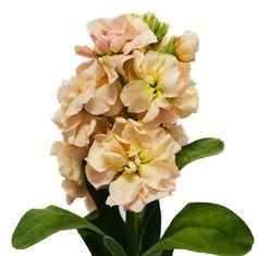 10 bunches for $129.99 @ FiftyFlowers.com - El Aleli Peach Flower