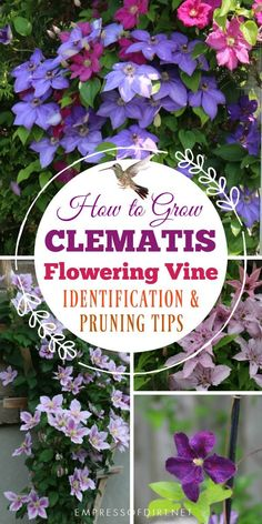 This clematis care guide includes tips for best growing conditions and how to figure out what type of vine you have. Once you know which type you have, you will know when (or if) to prune it, general maintenance, and how to get lots of flowers. Flower Garden, Clematis Care, Planting Flowers, Plants, Lawn And Garden, Urban Garden, Perennials, Garden Vines, Growing Flowers