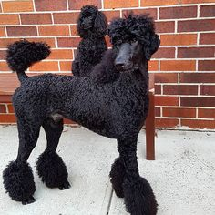 Giant standard poodle Louis sporting a pony cut, with mini Minki in the background.