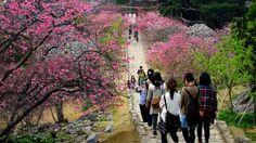 cerisiers en fleurs à Okinawa
