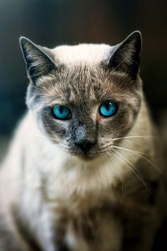 Imagem de cat, animal, and blue