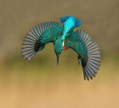 Alan McFadyen, who has been an avid wildlife photographer since 2009, just captured a photo that he has spent 6 years trying to get. By his count, it took him 4,200 hours and 720,000 photos to get a perfect shot of a kingfisher diving straight into the water without a single splash