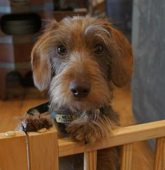 A wirehaired dachshund --- not a Westie, but almost as cute!