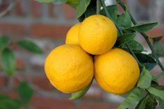 Meyer Lemon Trees: 7 Secrets for Loads of Fruit